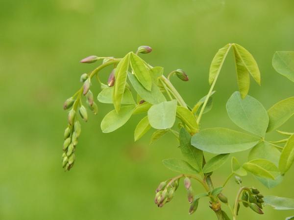 Adams Laburnum tree by digital_boi