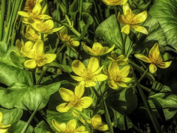 Marsh Marigold by Joline