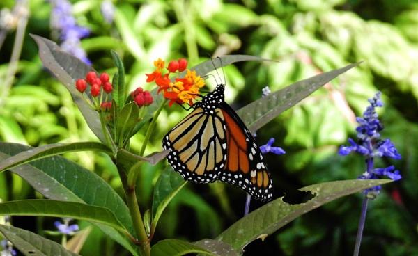 Monarch Butterfly by sevenmalt