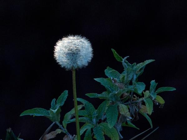 Dandelion by oldgreyheron