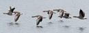 Greylag in flight by oldgreyheron