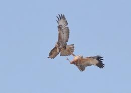Marsh Harrier and Buzzard Clash
