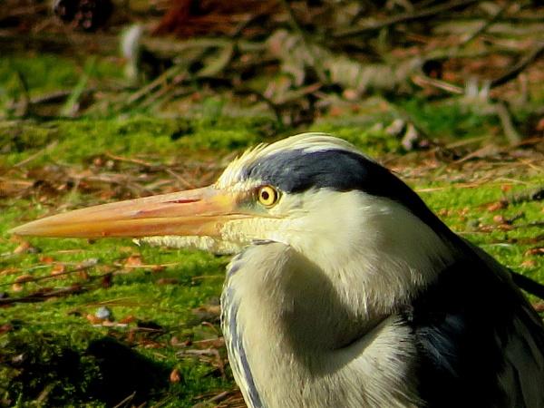 Beady eye Heron by SUE118
