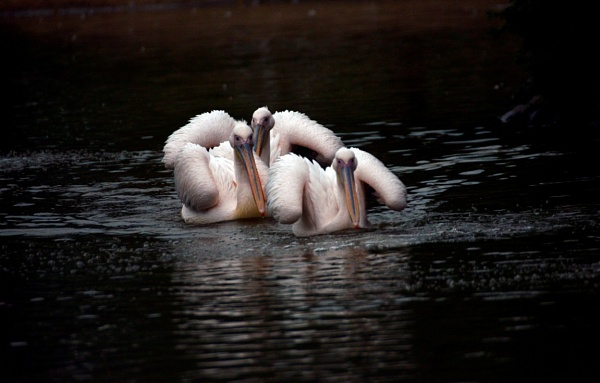 Pelicans by peterthowe