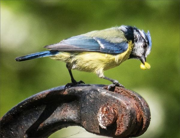Blue tit with grub by rambler