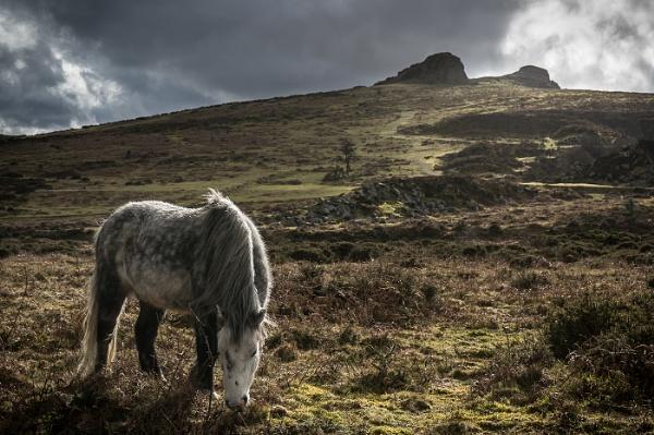Pony on Haytor