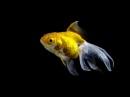 Goldfish C-3PO by DJLeroy