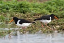 Oystercatchers (Haematopus ostralegus) by Ray_Seagrove