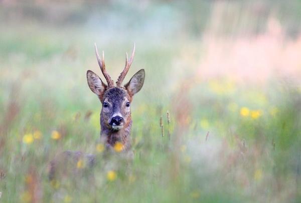 Roe Deer by Bigdenbo