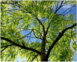 """Photo : """"Acer Palmatum"""""""