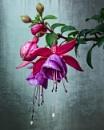Fuchsia by sweetpea62
