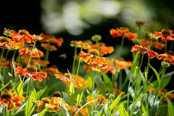 Helenium\'s in the spotlight by jacqs