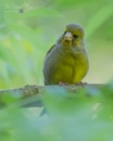 Greenfinch by MartinWait