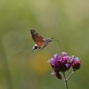 Hummingbird hawk-moth / Macroglossum stellatarum by senn