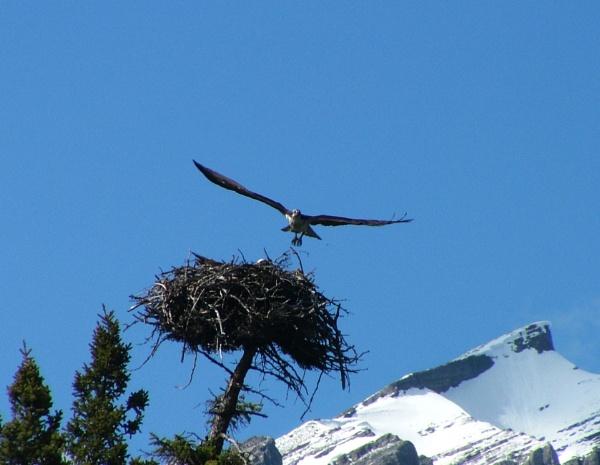 Osprey by JuBarney