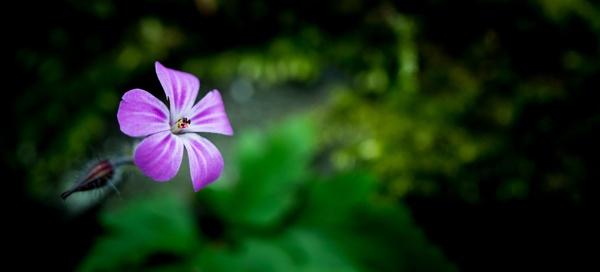 Wild Geranium by gowebgo