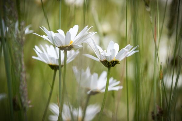 Daisies by gowebgo