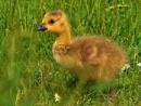 A fluffy little Gosling. by georgiepoolie