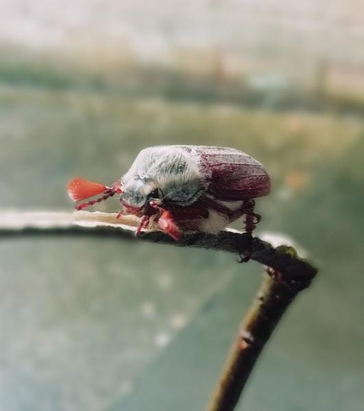 Tired May Bug by kristinadimascio