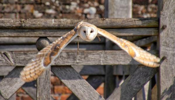 Barn Owl by grayguy