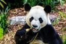 Panda Headshot by JohnnyG