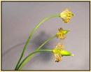 California Poppy Seed-heads by JawDborn