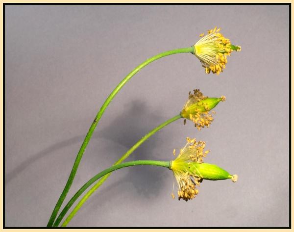 California Poppy Seed-heads