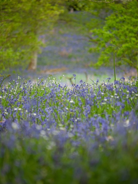 Down Amongst The Bluebells by kaybee