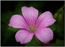 Hardy Geranium by capto