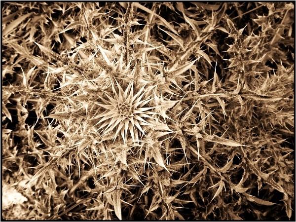 thistle star by FabioKeiner