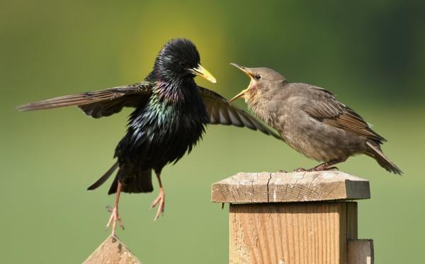 Starlings by AlexAppleby