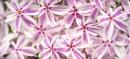 Phlox 'Candy Stripe' by TrotterFechan
