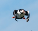 Puffin by bppowell