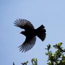 Blackbird wings by Madoldie