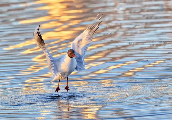 Laughing gull 3 in Suomenoja by hannukon