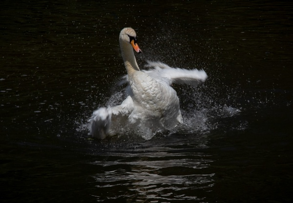 Swan Taking A Bath! by SocksAndStuff