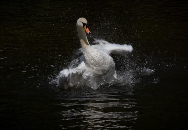 Swan Taking A Bath!