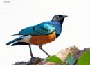 Superb Starling  by DaveNewbury