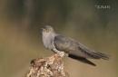 Cuckoo.....Male by KBan