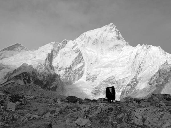 Nepal Mountain Yak by johnhiggins