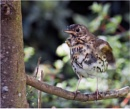 young thrush by aitchbrown