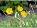 Pop-Pop-Pop- Poppies by Rock