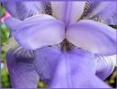 Macro Bearded Iris by Rock
