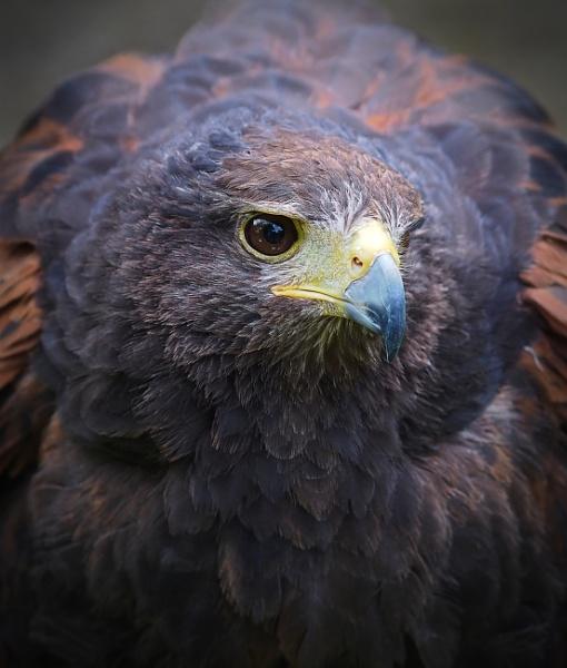 Harris hawk by athos55