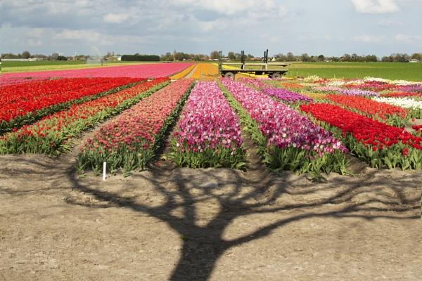 Tulips in Holland by SueLeonard