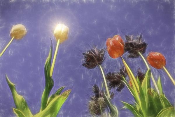 Tulips, tulips, tulips by SueLeonard