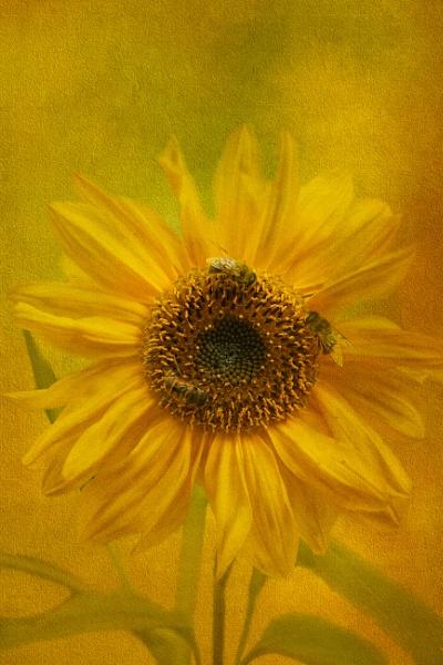 Textured Sunflower by SueLeonard