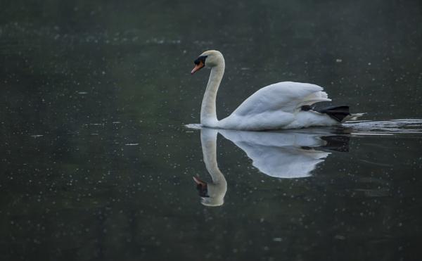 Glideing Swan by chensuriashi