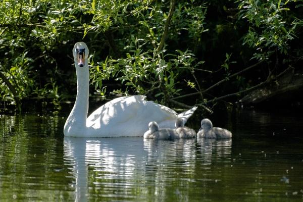 Swan Family by chensuriashi