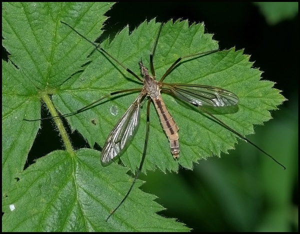 Crane Fly - Tipula paludosa.. by Badgerfred
